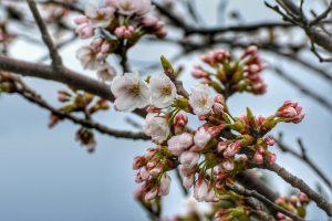 Was haben das Blumenfest, das am 8. April in Japan gefeiert wurde, und Weihnachten gemeinsam? Beides sind Festlichkeiten, bei denen die Geburt der Religionsstifter, Buddha beziehungsweise Jesus, gefeiert wird. Die Feier zur Geburt des Buddhas wird als Blumenfest bezeichnet, da die Tempel mit Blumen geschmückt und Blumen als Opfergabe dargereicht werden.